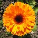 Ringelblume ORANGE - Schale mit 8-12 Frischblüten