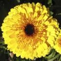 Ringelblume GELB - Schale mit 12 Frischblüten