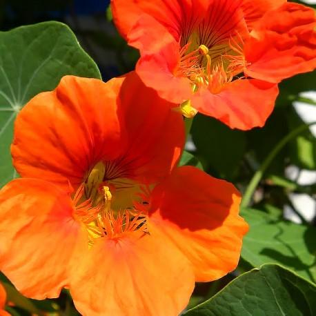 Kapuzinerkresse GELB-ORANGE- Schale mit 12 Frischblüten