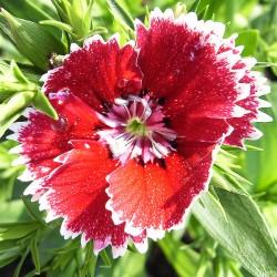 Nelken ROT/WEISS - Schale mit 25 Frischblüten