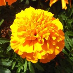 Tagetes GOLD - Schale mit 16 Blumen