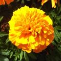 Tagetes GELB - Schale mit 16 Blumen