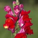 Löwenmaul ROT- Schale mit 12 Blüten