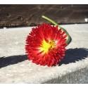 Gänseblume ROT - Schale mit 16 Frischblüten