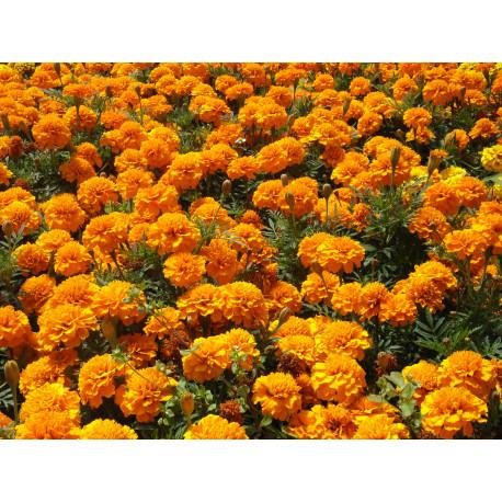 Tagetes Orange - Schale mit 16 Blumen